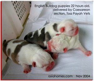 English bulldog puppies fostered out. asiahomes.com
