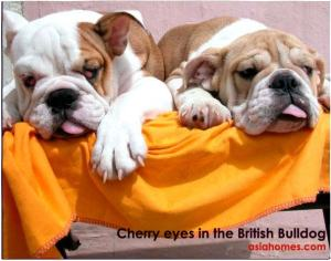 Large cherry eyes in 3-month-old British bulldogs.