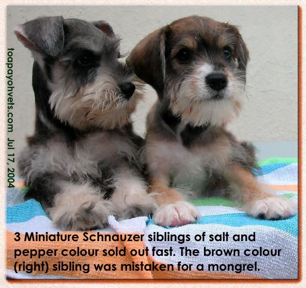 Brown Schnauzer with sibling (salt and pepper)
