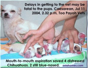 Delays in getting to the vet - 4 stressed Chihuahuas and 2 weak ones  during Caesarean.