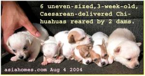Uneven-sized but beautiful apple-domed 3-week-old Chihuahuas.