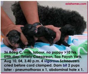Perfect Caesarean Delivery. 4 vigorous pups before umbilical cords clamped.