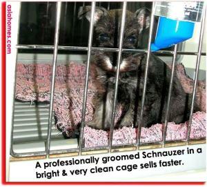 Mini Miniature Schnauzer puppy $1,800. Singapore. Paws N Furs