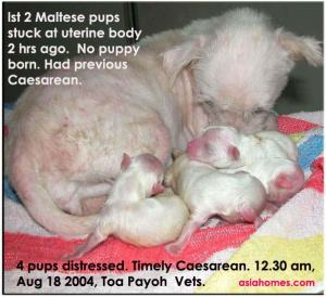 Timely Caesarean saves pups.