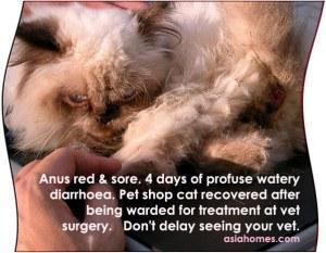 Red, sore anus after 4 days profuse diarrhoea in a pet shop cat.