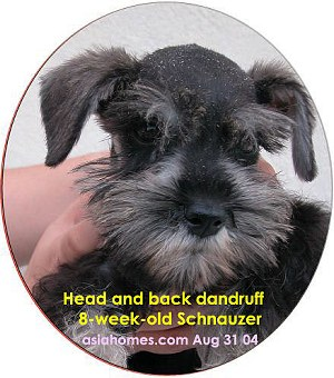 Dry scales on head and back of miniature Schnauzer puppy
