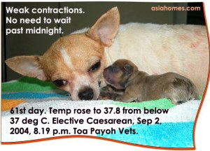 No need to wait till mum distressed to elect for a Caesarean. Had previous Caesarean. Chihuahua. Toa Payoh Vets