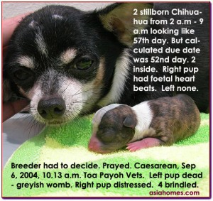 Chihuahua was probably mated by another sire 3 days earlier.