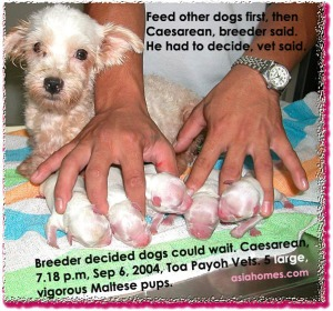 Waiting could have led to dead Maltese pups. Travelling time to vet  must be taken into account.