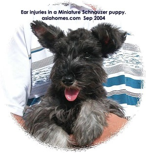 Ear flap injuries in a Miniature Schnauzer puppy, Singapore. Should the ears be trimmed?