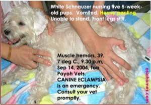 Canine eclampsia, home breeder. Schnauzer, 5 pups, 5 weeks. Toa Payoh Vets