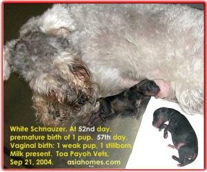 Premature 52nd day born. 2 other pups at 57th day born did not survive. Toa Payoh Vets