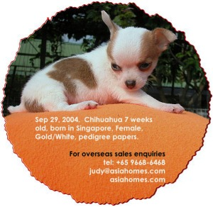 Chihuahua for export sales. Tel: +65 9668-6468, asiahomes.com