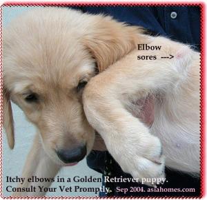 Elbow sores in Golden Retriever puppy. Toa Payoh Vets