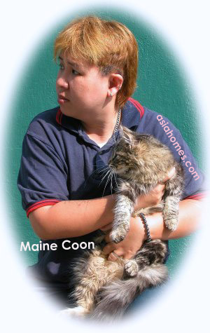 Maine Coon kittens for sale, asiahomes.com