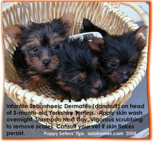 Yorkshire Terriers 3 months, infantile seborrhoeic dermatitis, asiahomes.com. 9668-6468. For sale.
