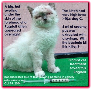 Fast growing bacteria - hot skin abscesses in Ragdoll kitten. asiahomes.com