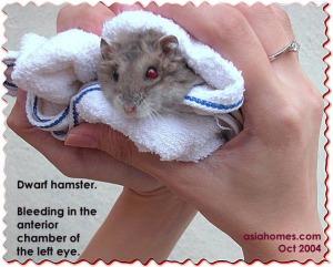 Dwarf hamster - anterior chamber of eye - bleeding. asiahomes.com