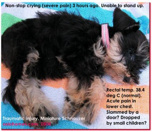 Miniature Schnauzer - sudden onset non-stop crying. Recumbent. Toa Payoh Vets