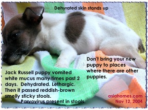 Canine parvovirus in a Jack Russell puppy vaccinated once