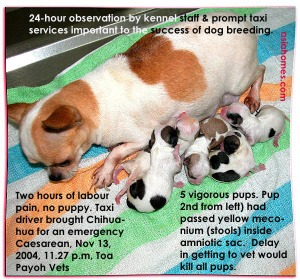 Knowing the 2-hour-limit to get Emergency Caesarean saved all 5 Chihuahua pups and mother. toa payoh vets