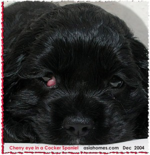 Small cherry eyes in puppies can be treated early. Toa Payoh Vets