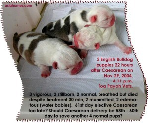 Would a 60th day elective Caesarean save 4 more English bulldog puppies?