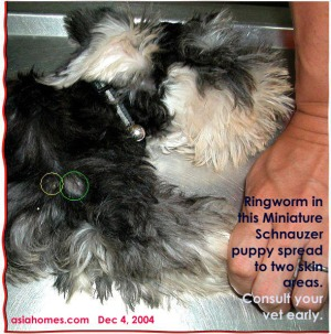 Ringworm spreads fast in puppies. Consult your vet early. Toa Payoh Vets