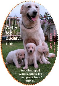 The Labrador sire looks like a polar bear from afar. Some pups resemble him.