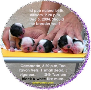 Shih Tzu dam had difficulty in giving birth. First born naturally but dead.