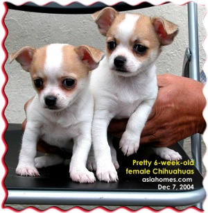 Breeder selling pedigreed female Chihuahuas for S$2,000. Tel: 9668-6468.