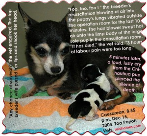 "Chihuahua in labour pain, no pups over 3 hours. Pup was ""dead"" but the top breeder revived it."