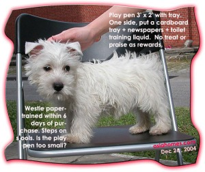 Confined area helps to paper train the Westie puppy.