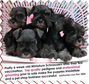 Top quality Miniature Schnauzers, small sized, selling S$2,000 at the pet shop.