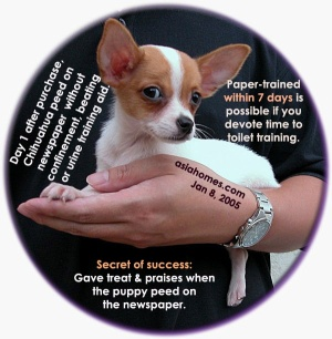 Chihuahua paper-trained within 1-3 days, a remarkable success. Toa Payoh Vets research.