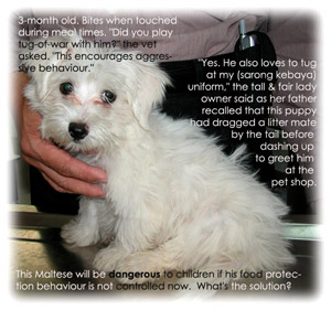 A very alert and lovable Maltese 3 months old. Food protection aggressive behaviour. Toa Payoh Vets