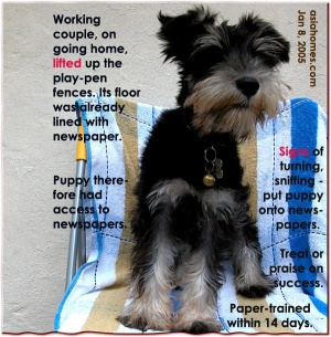 Miniature Schnauzer paper-trained within 14 days. Toa Payoh Vets research