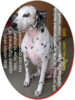 Older Dalmatian. Can removal of undescended testicle resolve his territorial aggression problem? Toa Payoh Vets