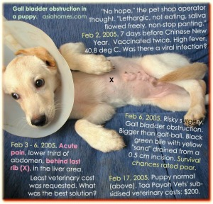 Surprisingly, the very sick and painful puppy survived gall bladder surgery
