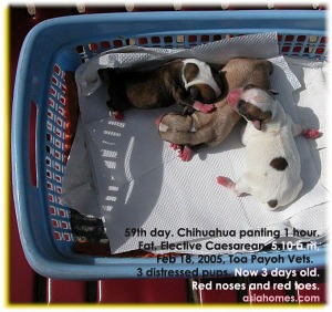 Timely elective Caesarean saved 3 Chihuahua pups. Toa Payoh Vets