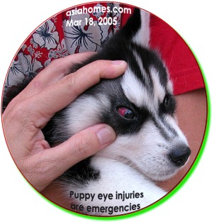 Consult your vet immediately. Eye injuries in puppies are emergencies. ToaPayohVets