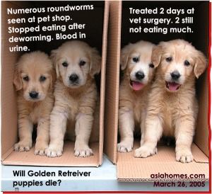 Newly arrived Golden Retrievers at pet shop with heavy roundworm infestation. ToaPayohVets