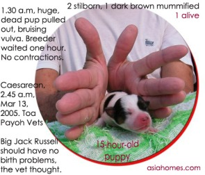 A belated Caesarean saved 1 pup. Toa Payoh Vets