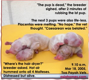 Distressed pups. Placenta cells melting. Toa Payoh Vets. 4 heated up. Alive.