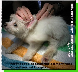 Puppy keeps scratching ear edges. Consult your vet promptly. Toa Payoh Vets.