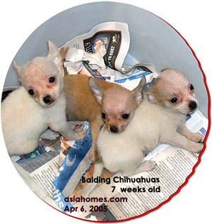 Bald headed Chihuahuas, 7 weeks old. Toa Payoh Vets