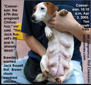 Jack Russell's 4th pregnancy. Dystocia last pup stuck in uterine womb. Toa Payoh Vets