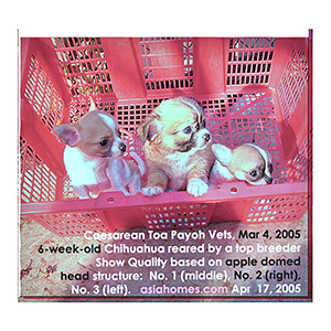 A top Singapore breeder knows how to rear vigorous and breed top quality Chihuahuas. Toa Payoh Vets, Singapore.