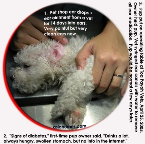 Signs of diabetes in a puppy due to ear medication. Toa Payoh Vets.