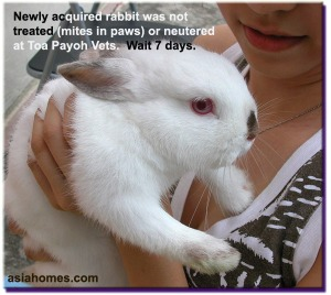 Owner accepted advice not to treat or neuter new rabbit for few days as it may be stressed more. Toa Payoh Vets.